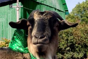 stpattysday-goat-March17
