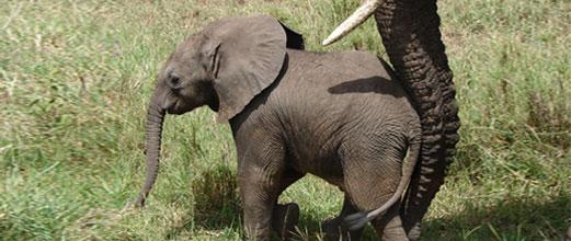 Elephant-large-Jan19