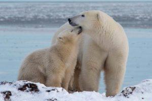 Arctic Kingdom Webinar Puts Focus on Polar Bear Tours
