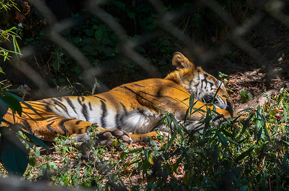Tiger tourism's role in conservation
