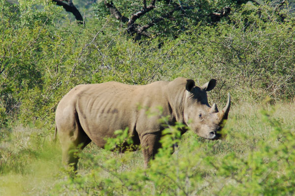 Hosted Safari Will Help Save Rhinos