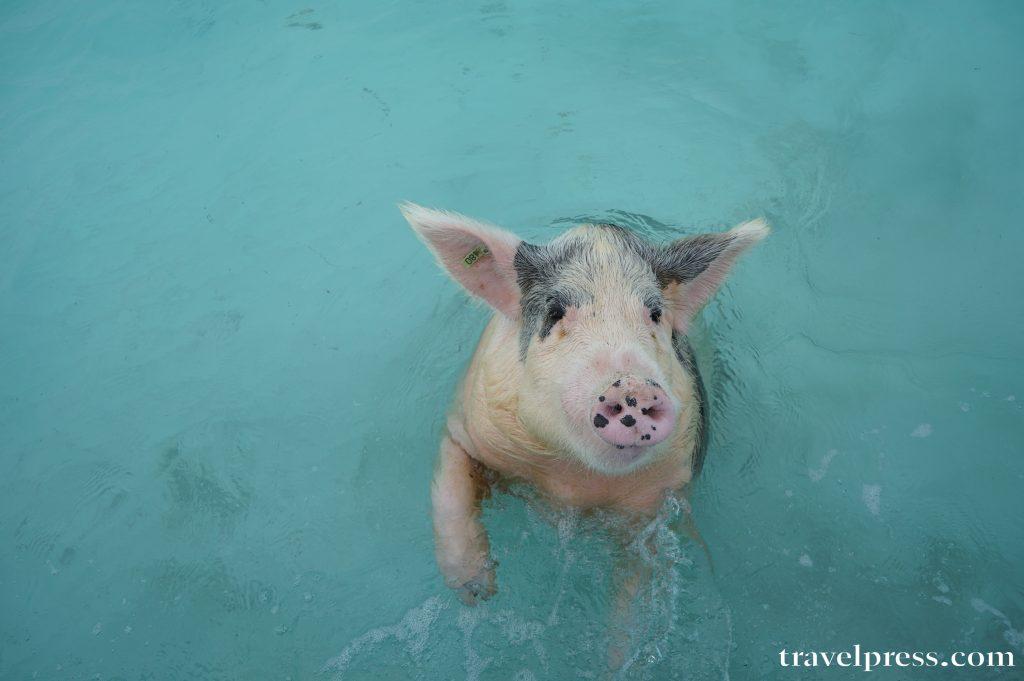 Bahamas, pig